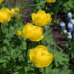 トロリウス'レモンクィーン'